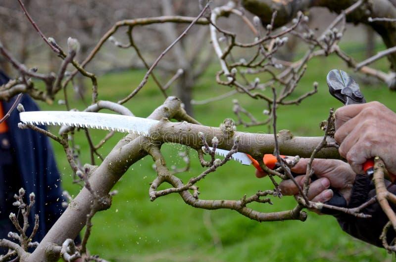 Przycinający jabłoni z przycinać saw zdjęcia royalty free