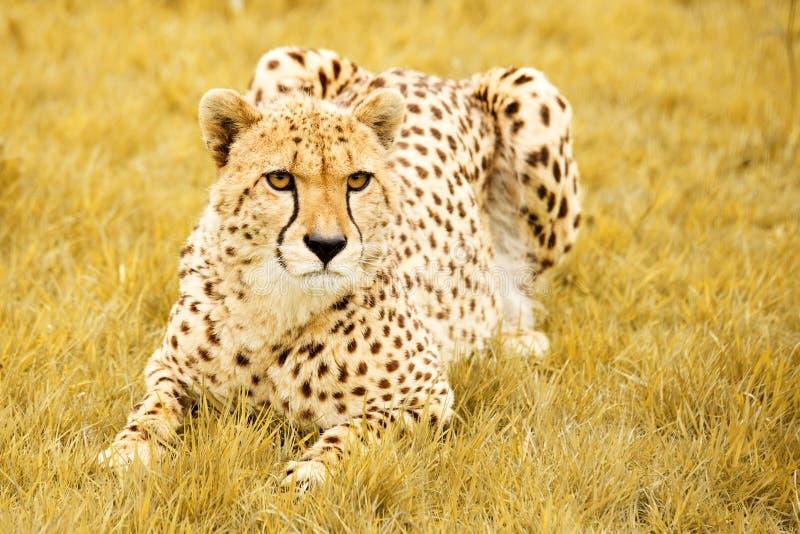 przycupnięcie geparda obraz royalty free