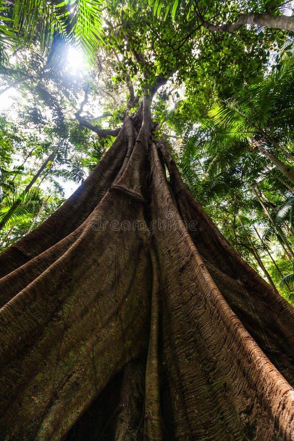 Przyglądający w górę słońca i figi drzewa z ogromnymi korzeniami przy fotografia stock