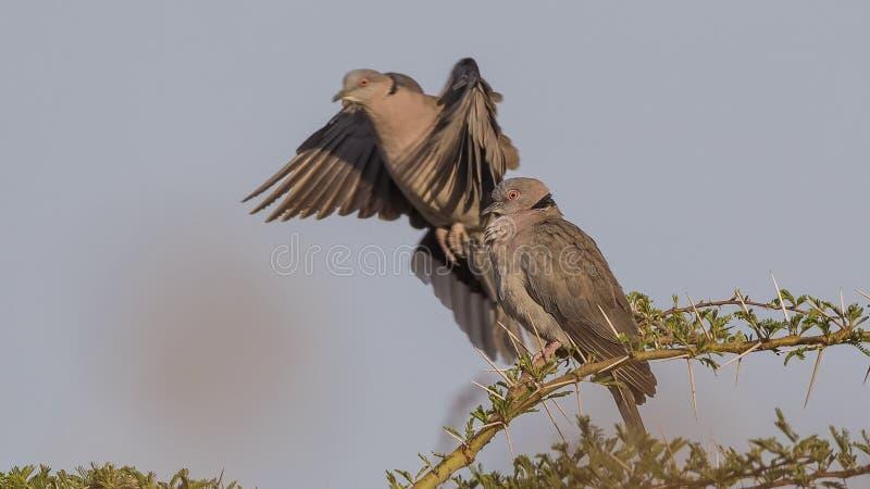 Przyglądać się gołąbki na Shrubbery fotografia stock