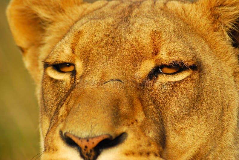 przygląda się lwa zdjęcie royalty free