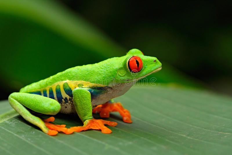 Przyglądająca się Drzewna żaba, Agalychnis callidryas, Costa Rica zdjęcia stock