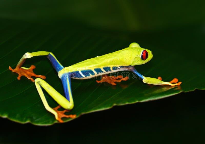 Przyglądająca się Drzewna żaba, Agalychnis callidryas, zwierzę z dużymi czerwonymi oczami w natury siedlisku, Costa Rica Piękny e zdjęcia stock