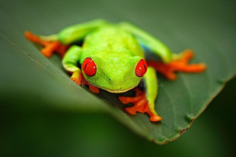 Przyglądająca się Drzewna żaba, Agalychnis callidryas, zwierzę z dużymi czerwonymi oczami w natury siedlisku, Panama fotografia stock