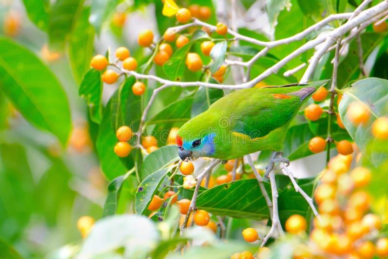 Przyglądająca się figi papuga od Queensland, Australia obrazy stock