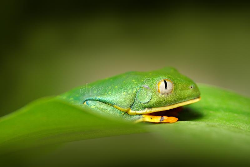 Przyglądająca się liść żaba, Cruziohyla calcarifer, Zielona żaba na urlopie, Costa Rica Przyrody scena od zwrotnik dżungli Lasowy obraz royalty free