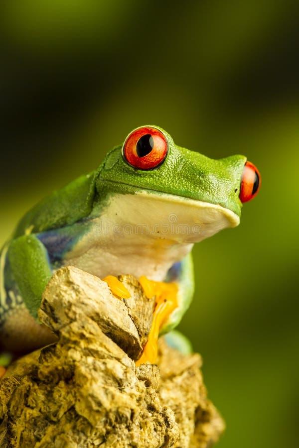 Przyglądająca się Zielona Drzewna żaba (Agalychnis callidryas) obrazy stock
