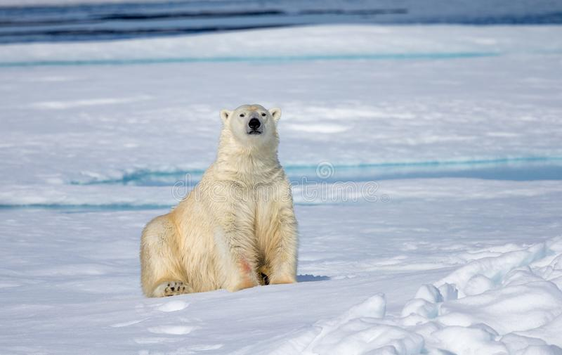 Przyglądający delikatny i Arktyczny niedźwiedź polarny jesteśmy niebezpiecznym niedźwiedziem obraz stock