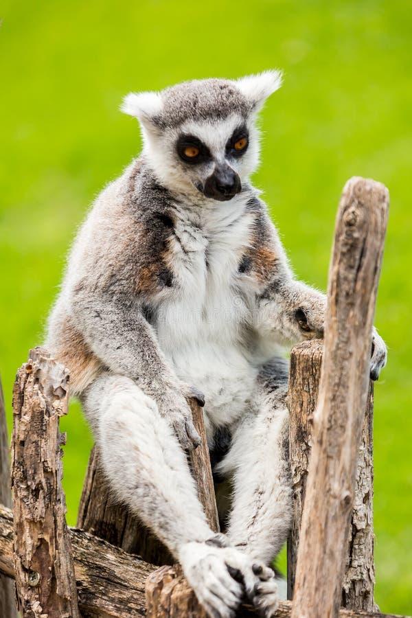 Przyglądający lemur zdjęcie stock