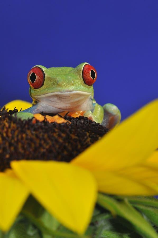 przyglądający się żaby czerwieni drzewo obraz stock