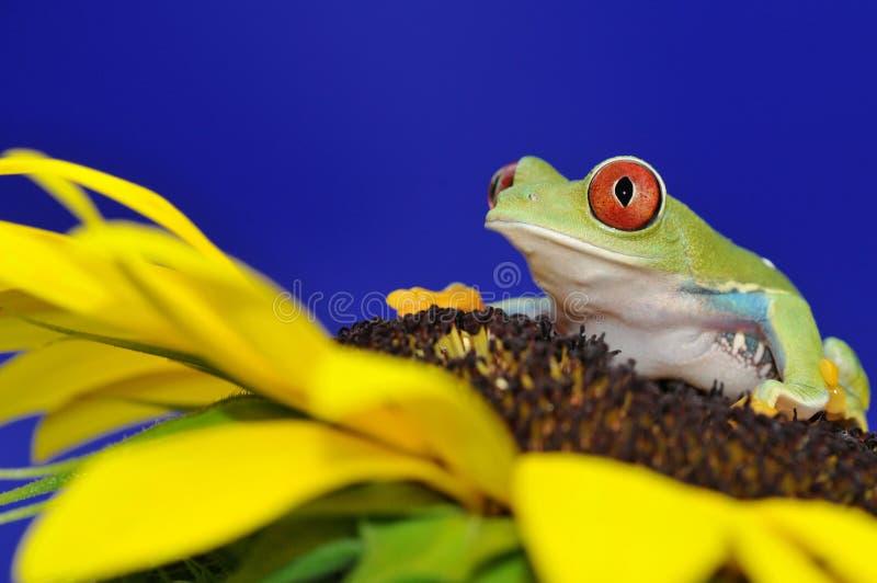 przyglądający się żaby czerwieni drzewo obrazy royalty free