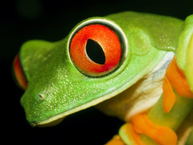 przyglądający się żaby czerwieni drzewo zdjęcia royalty free