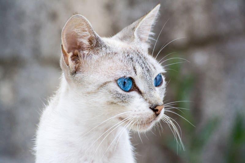 przyglądający się błękitny kot zdjęcie stock