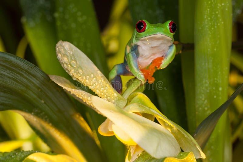 Przyglądający się drzewnej żaby obsiadanie między orchideą obraz royalty free