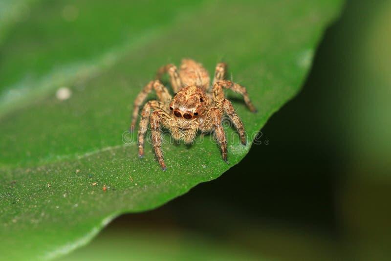 przyglądający się skokowy pająk cztery obrazy royalty free