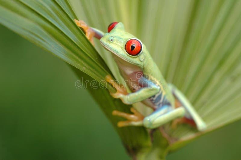 Przyglądający się treefrog (Agalychnis callidryyas) obraz stock