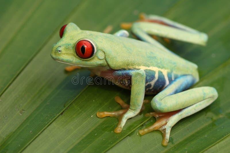Przyglądający się treefrog (Agalychnis callidryyas) fotografia stock