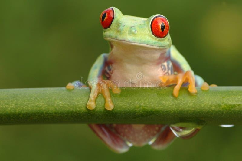 Przyglądający się treefrog (Agalychnis callidryyas) zdjęcie stock