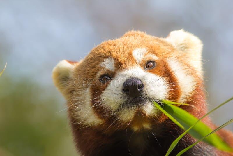 Przyglądający się zwierzę Śliczna czerwona panda je patrzejący bambusowego krótkopędu zdjęcie royalty free
