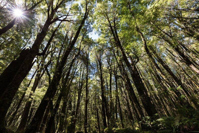 Przyglądający up w drzewa czerwonego buku Nothofagus fusca Fiordland lasowy park narodowy, Nowa Zelandia fotografia stock