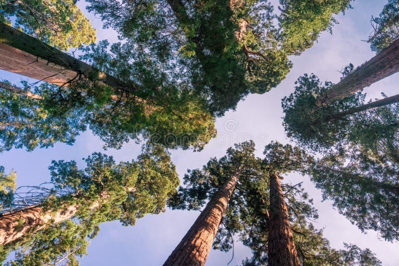 Przyglądający up w gaju sekwoj drzewa, Calaveras drzew stanu Duży park, Kalifornia obrazy royalty free