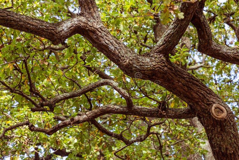 Przyglądający up w starego drzewo z kręconymi gałąź fotografia stock