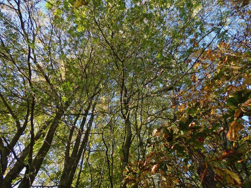 Przyglądający w górę baldachimu przy, zieleń opuszcza niebieskie niebo obfitość drzewa, fotografia nabierająca UK obraz stock