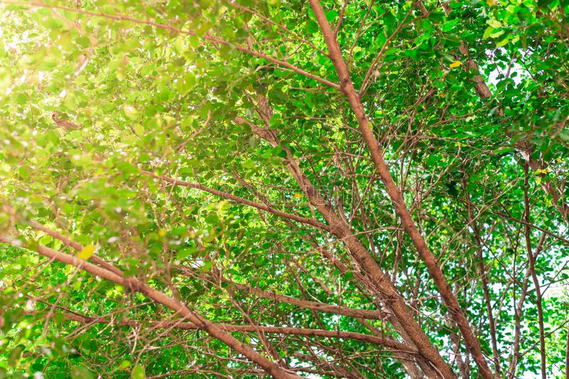 Przyglądający w górę gigantycznego drzewnego baldachimu z żółtym światła słonecznego jaśnieniem przez zielonych liści zdjęcie royalty free