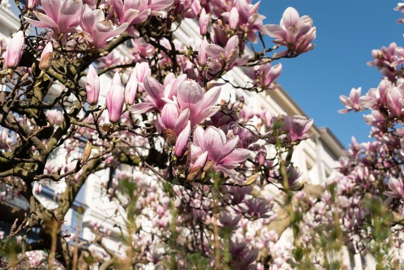 Przyglądający w górę kwitnącego drzewa przy zdjęcie royalty free