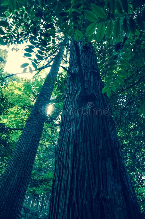 Przyglądający w górę wysokiego prostego drzewa w drewnach fotografia royalty free