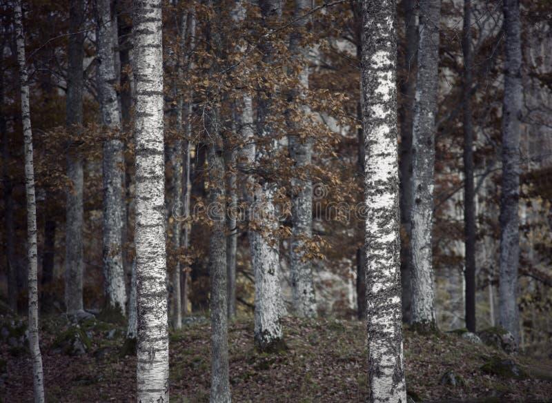 Przygnębiający jesień las zdjęcia royalty free