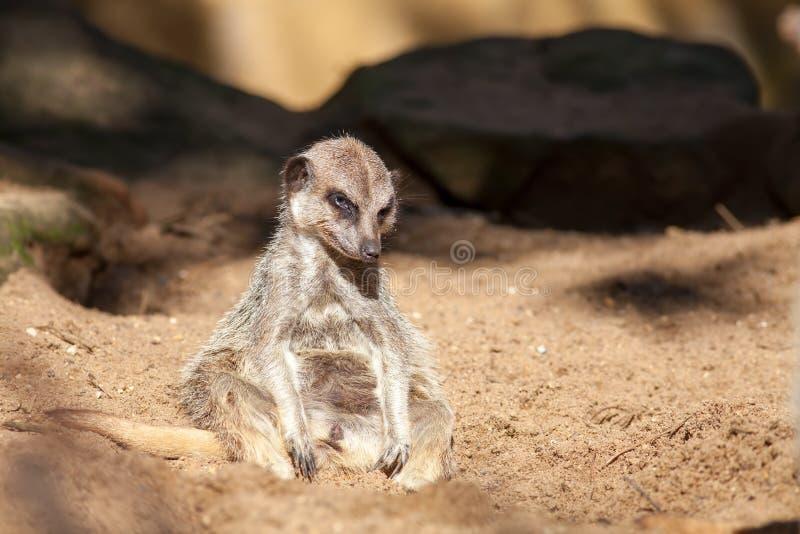 Przygnębiony zwierzę Zły dzień przy pracą dla zmęczonego meerkat Śmieszny cięcie zdjęcie royalty free