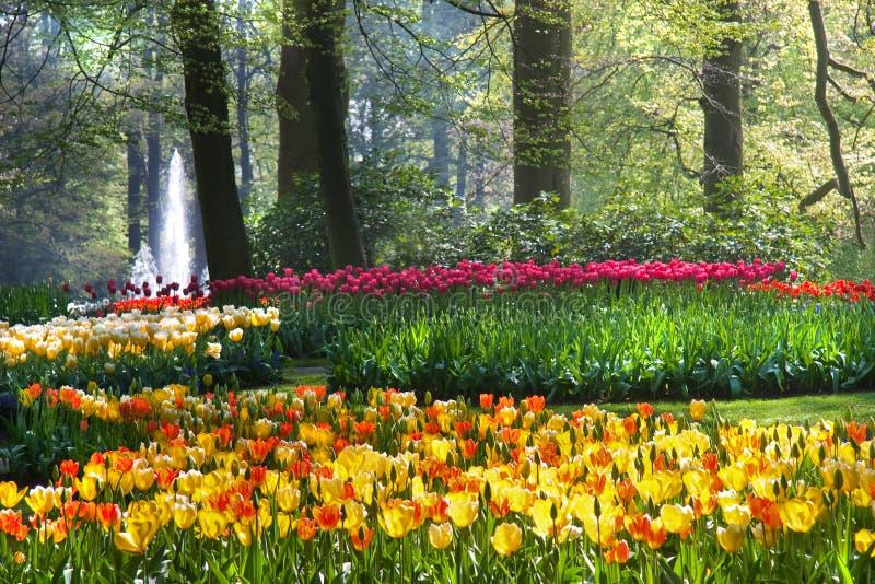 przygotowania kolorowi wiosna tulipany zdjęcie stock