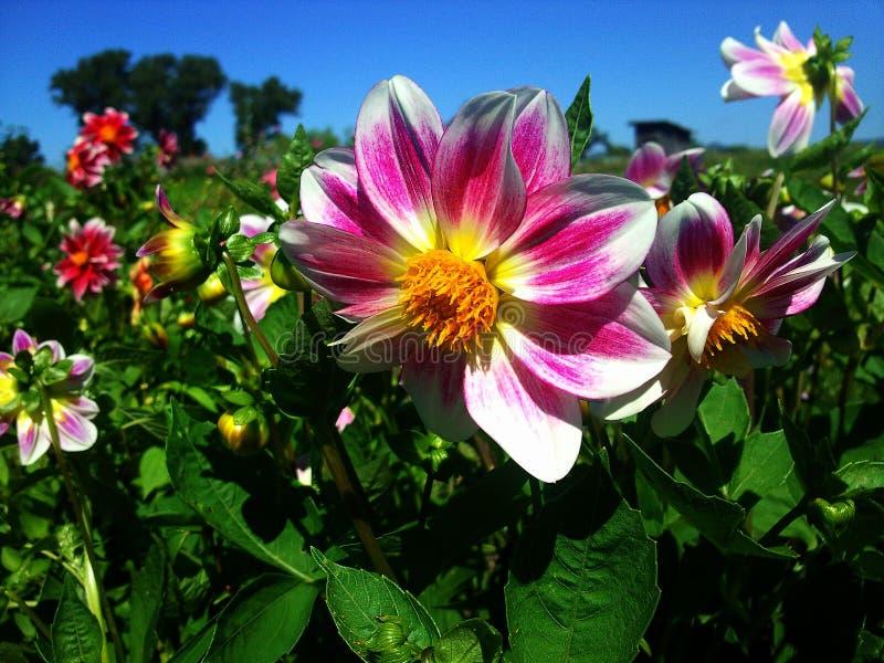 przygotowania piękne kwiatu menchie fotografia stock