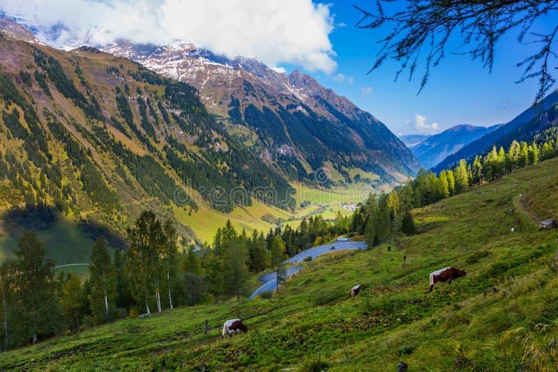 Przygotowywać krowy pasają pokojowo fotografia royalty free
