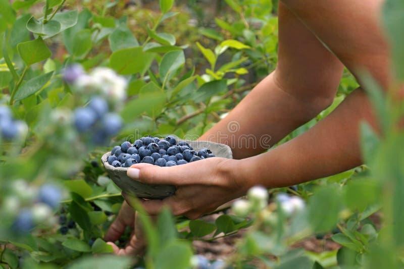 Przyjemna praca w ogródzie Kolekcja dojrzałe czarne jagody obraz royalty free