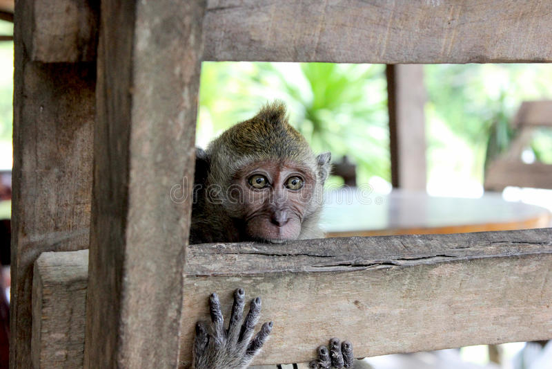 przykuwająca małpa obraz royalty free