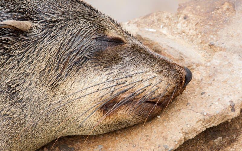 Przylądek futerkowa foka (Arctocephalus pusillus) zdjęcie stock