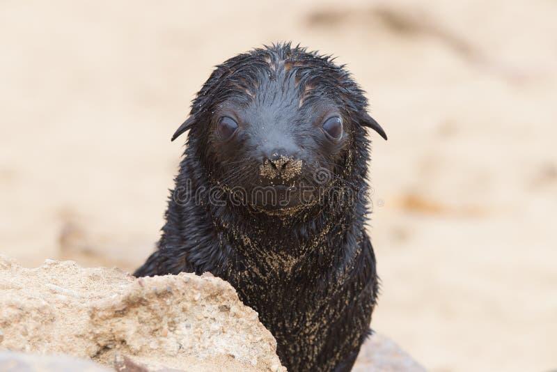 Przylądek futerkowa foka (Arctocephalus pusillus) obraz stock