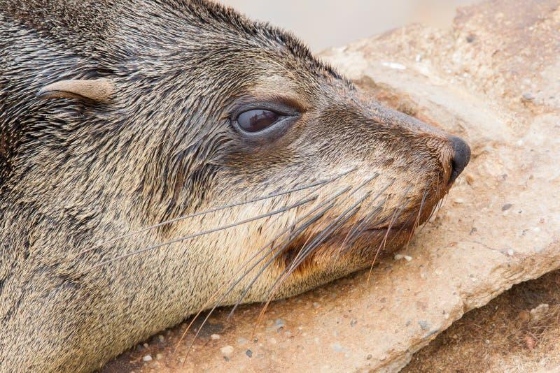 Przylądek futerkowa foka (Arctocephalus pusillus) zdjęcie royalty free