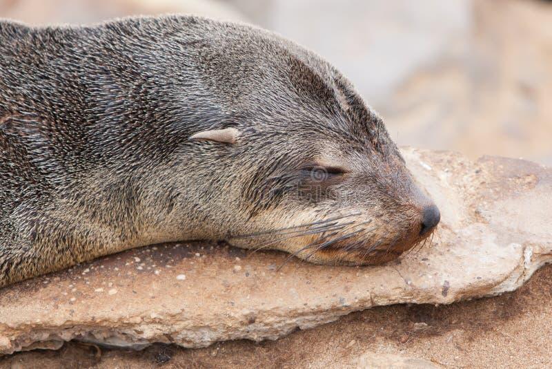 Przylądek futerkowa foka (Arctocephalus pusillus) fotografia royalty free