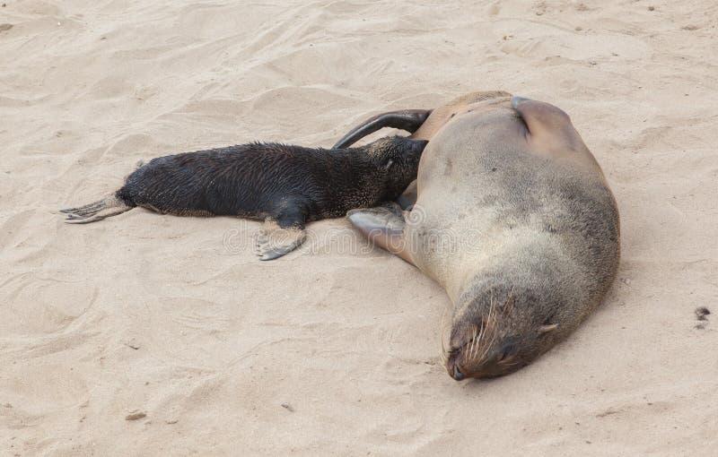Przylądek futerkowa foka (Arctocephalus pusillus) zdjęcia stock