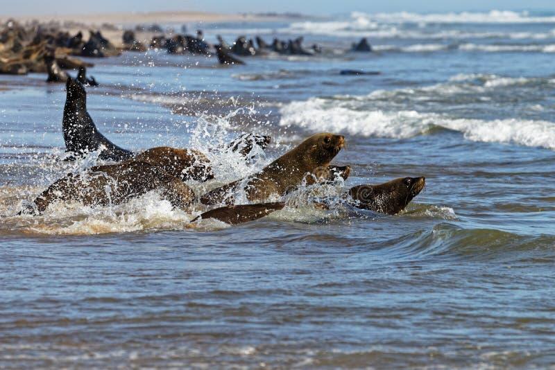 Przylądek Futerkowe foki zdjęcie royalty free