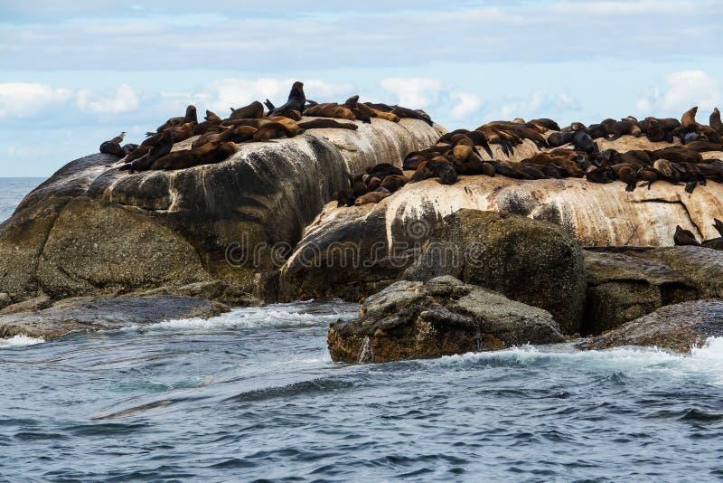 Przylądek Futerkowych fok Arctocephalus pusillus przy foki wyspą, Południowa Afryka fotografia stock