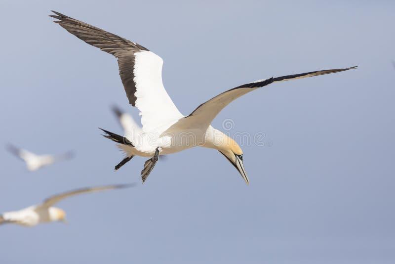 Przylądek Gannet, Morus capensis, lata przy ptak wyspą, Lamberts zatoka, Południowa Afryka fotografia stock