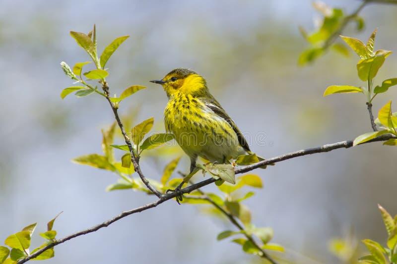 Przylądek May podczas wiosny migra Warbler ptak zdjęcie stock