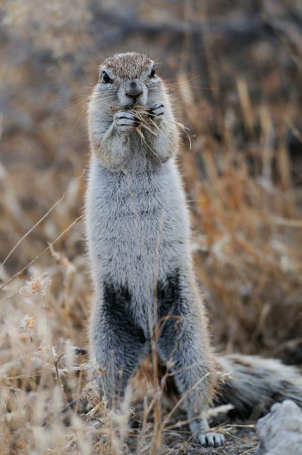 Przylądek zmielona wiewiórka jest je, etosha nationalpark, Namibia zdjęcia royalty free