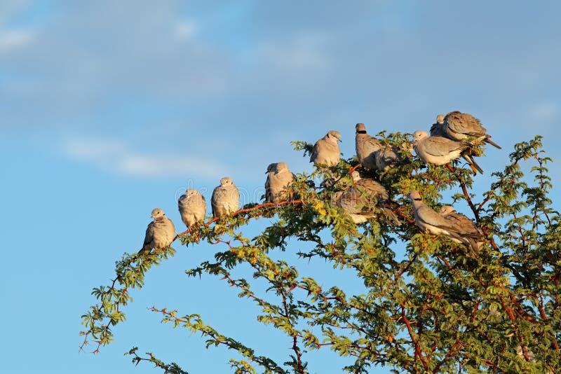 Przylądka żółwia gołąbki w drzewie zdjęcia royalty free