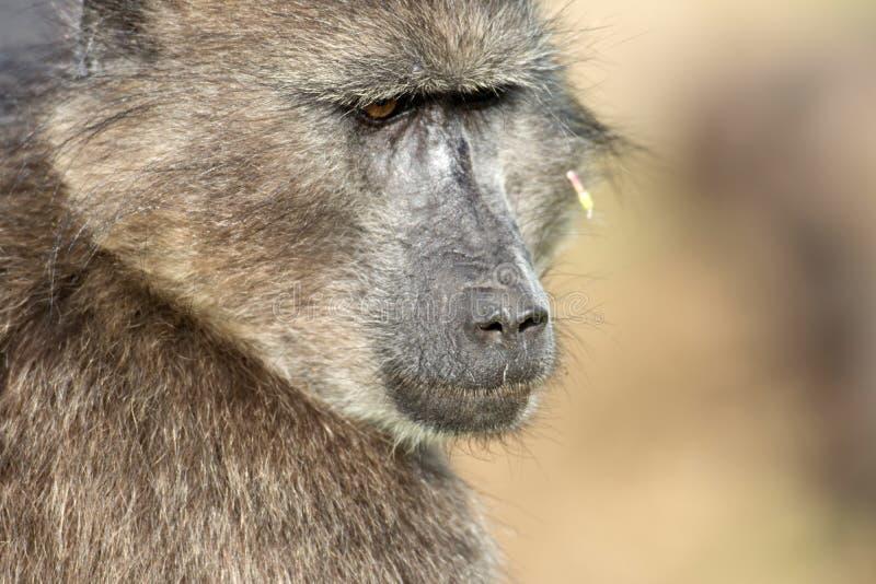 Przylądka babboon karmienie fotografia royalty free