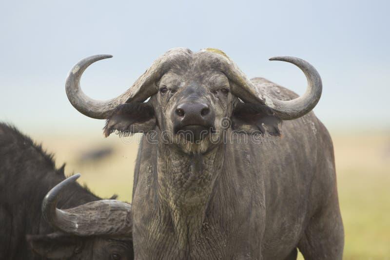 Przylądka Bawoli byk w Tanzania (Syncerus caffer) fotografia stock
